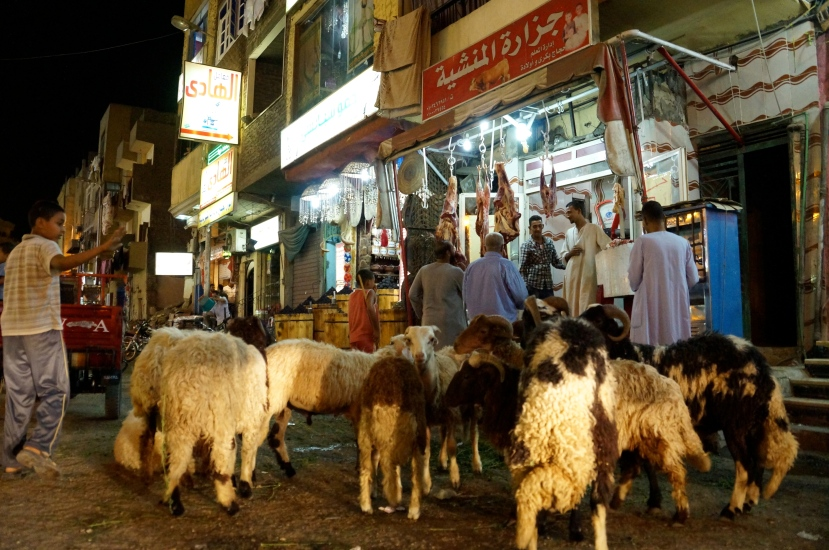 A boy watches over sheep waiting for the butcher in downtown Luxor